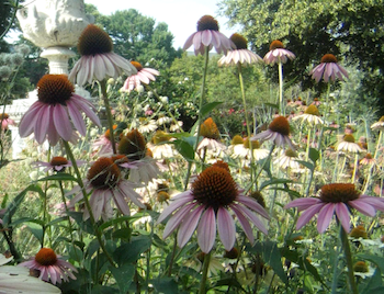 Echinacea on the D.C. mall